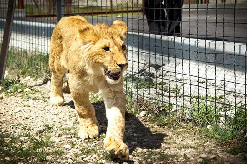 Отдых с детьми в Феодосии: Сафари парк, дети увидят настоящих львов - Фото
